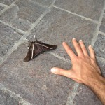 These gigantic moths are everywhere. My son Zayd thinks they're birds