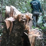 A stump of one of the illegally felled agarwood trees that our team passed by.